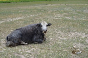 顔の白い牛、サニ手前2キロ